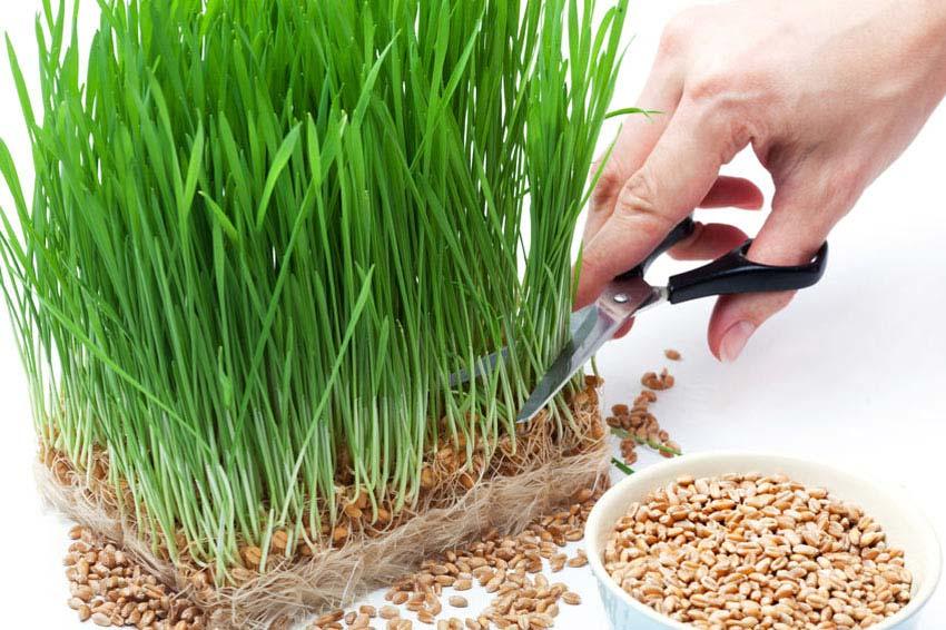 Gerstengras anbauen