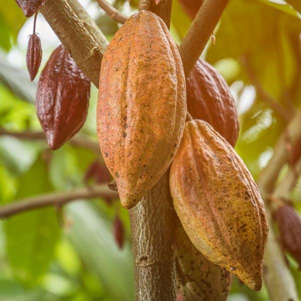 Kakaoschoten